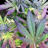 17 OCTOBRE – Entrée en vigueur du règlement municipal de Drummondville encadrant le cannabis