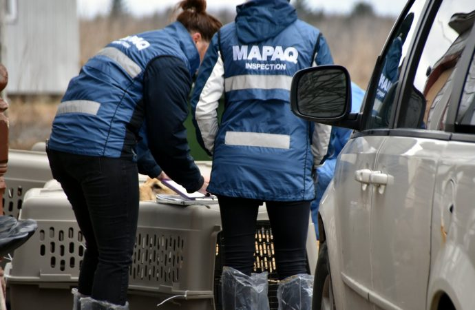Saisie de chats – Le MAPAQ, en collaboration avec la SPA Mauricie, a procédé à la saisie de 60 chats provenant d'une résidence privée située dans la région du Centre-du-Québec.