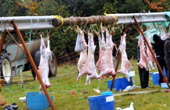 Fête du mouton: les animaux de BSC seront mis en vente