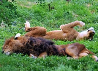 Les lions, plus près que jamais!