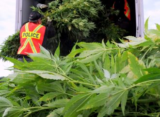 Opération d'éradication de plants de cannabis à Saint-Bonaventure.