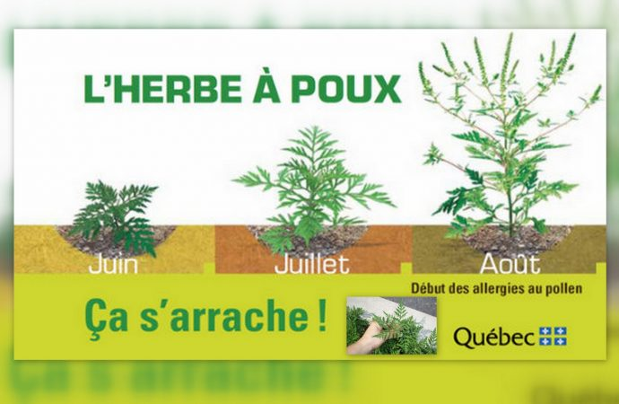 Drummondville – C'est le temps d'arracher l'herbe à poux !