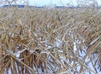 Hiver précoce : Effets désastreux les producteurs de grains réclament une rencontre avec Québec